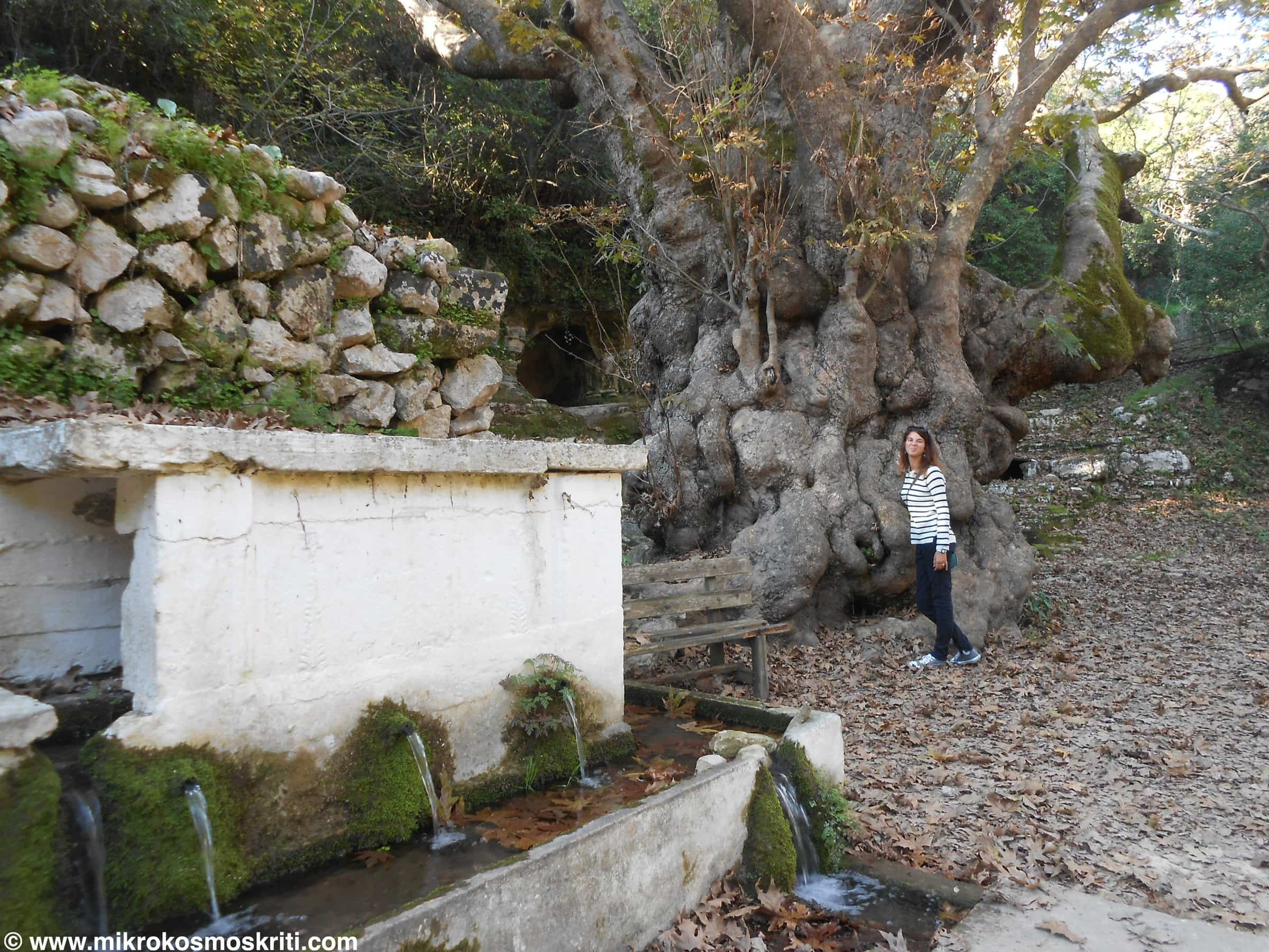 Platano millenario e fontana